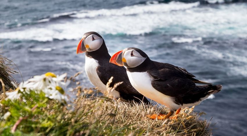Photo of two puffin birds