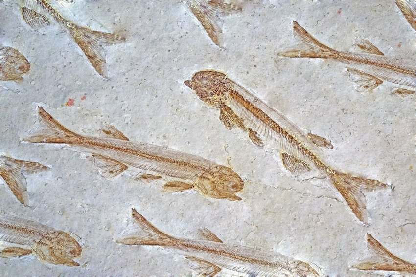 Several Lycoptera fossils from the Jurassic and Cretaceous periods found in Liaoxi, China