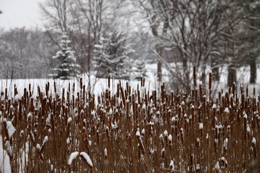 Snowy cattails in the green areas of Theodore With Regional Park during winter