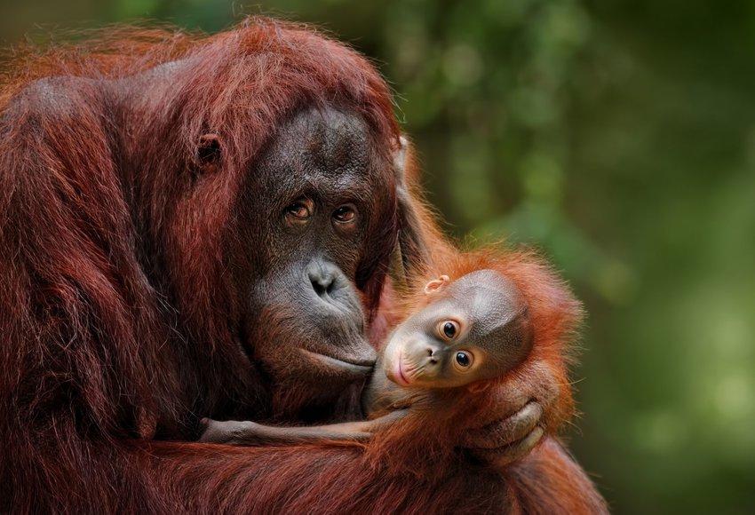 adult orangutan holding baby orangutan
