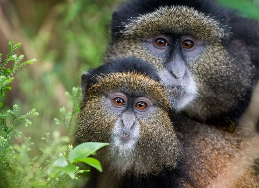 adult and baby golden monkeys in Rwanda