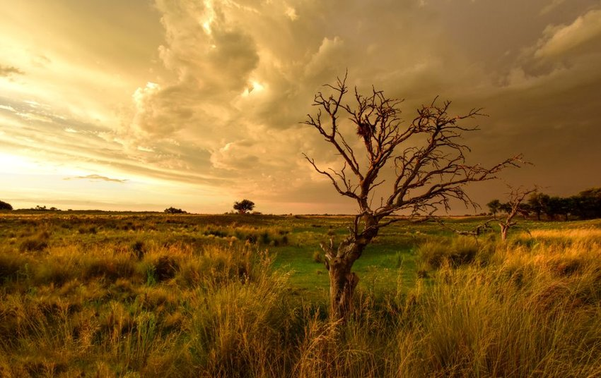 Lone tree in a prairie with storm clouds gathering in Argentina