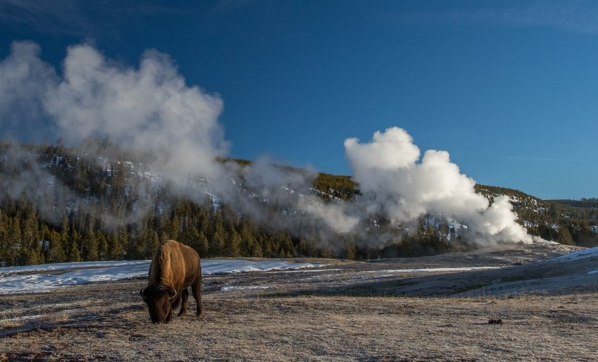 Lone bison grazing in front of a geyser at Yellowstone National Park