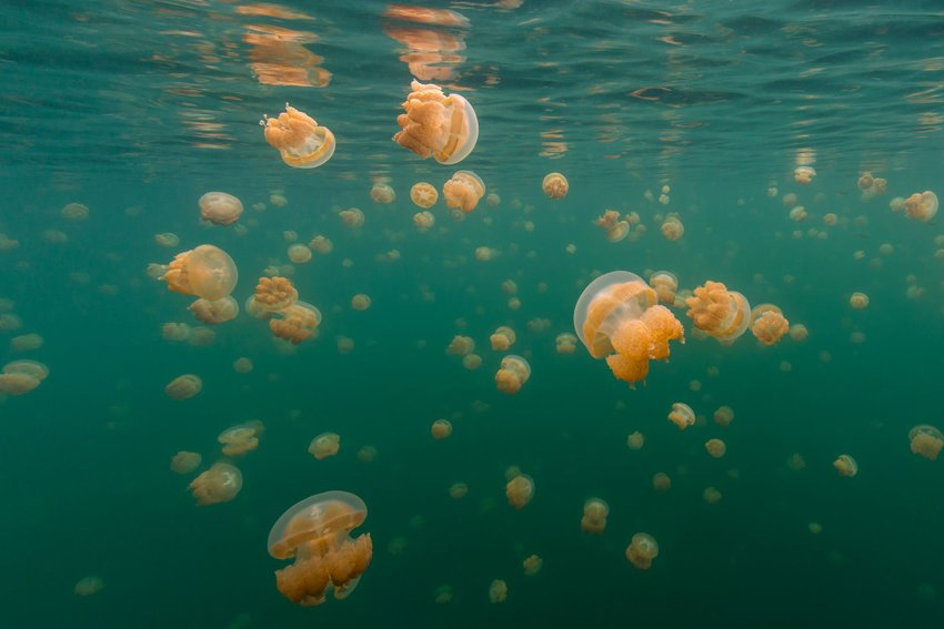 A freshwater lake full of jellyfish