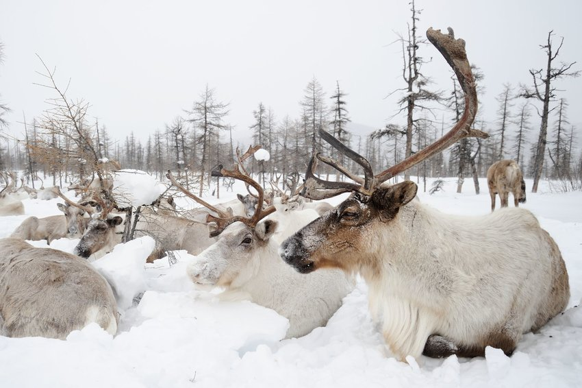 Herd of reindeer laying in the snow in winter in the Siberian village of Oymyakon.
