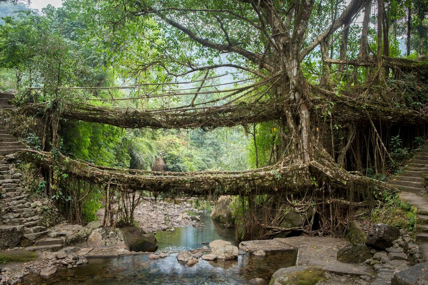 Two bridges formed from tree roots over a river in the jungle in the Indian region of Meghalaya.