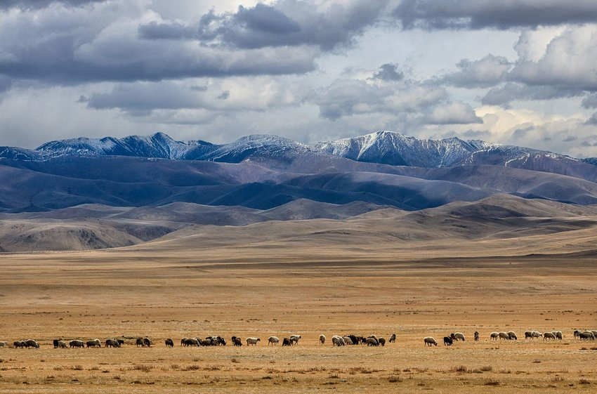 Mongolian steppe and sheep with mountains in background