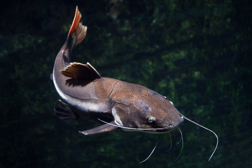 A catfish swimming