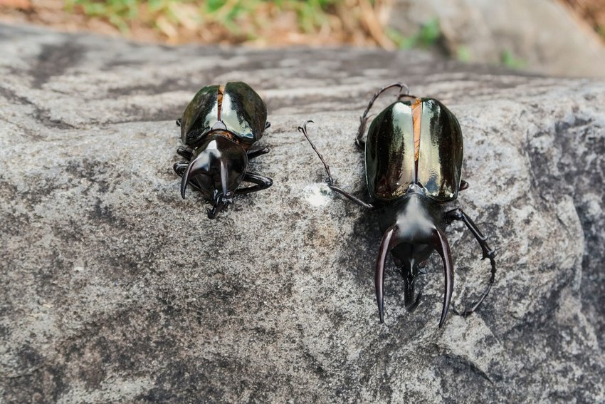 Two atlas beetles on a rock