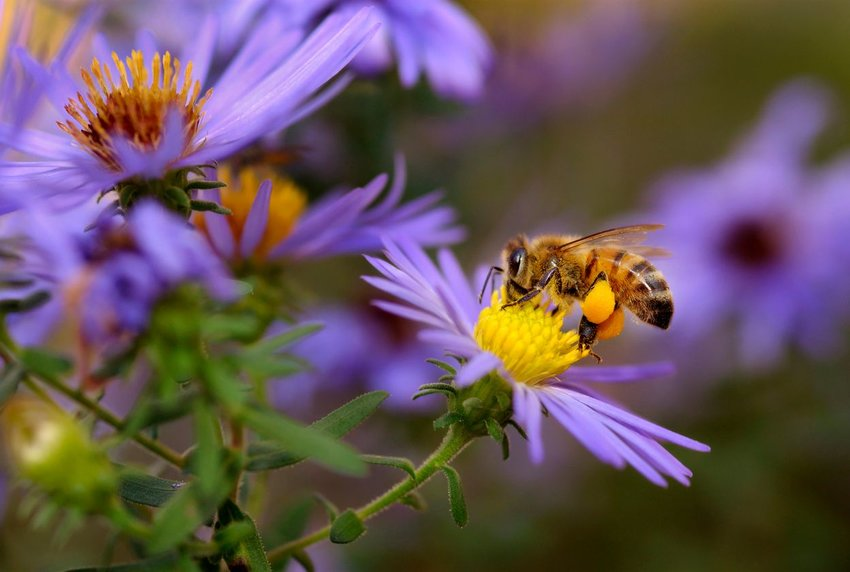 A honeybee sips nectar from an aster