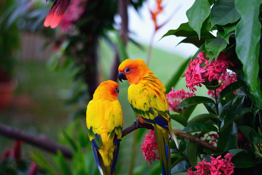 Two parrots on a tree branch with pink flowers