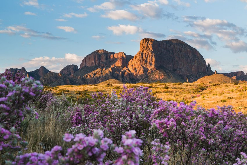 Purple sagebrush blooming in the Texas desert with the Chisos mountain in the background.