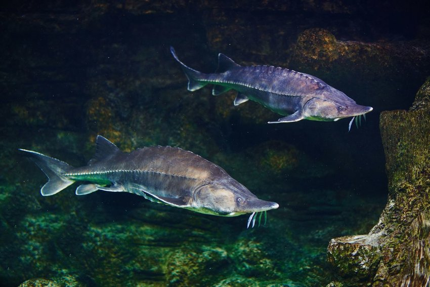 Two sturgeon swimming in water