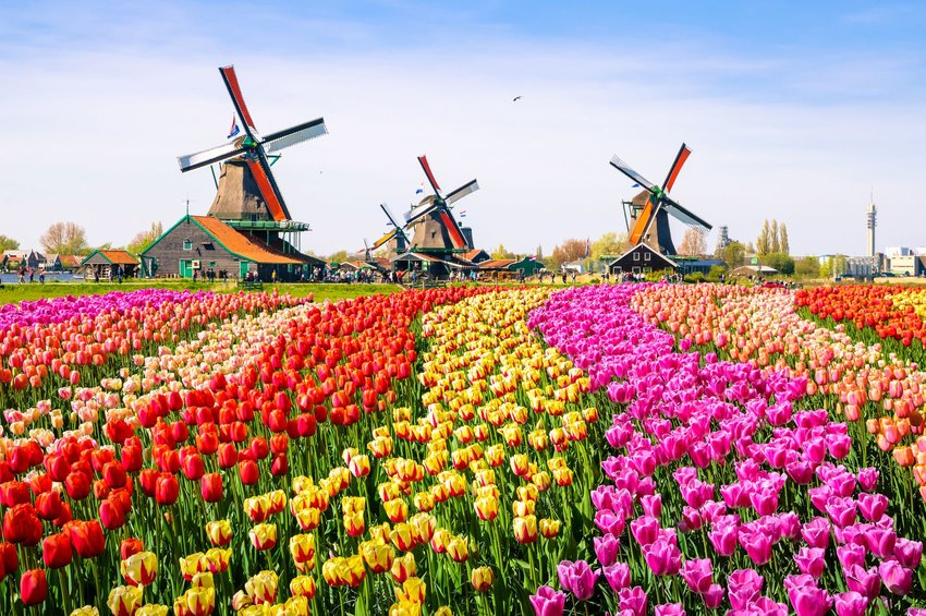 Colorful field of tulips in front of windmills in Netherlands, Europe