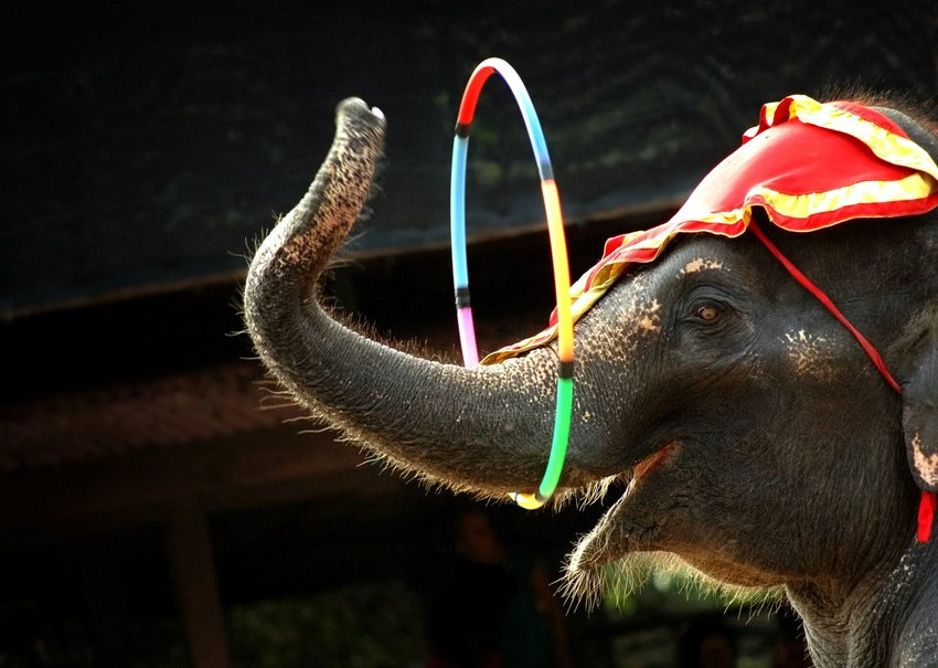 Circus elephant spinning a hoop around its trunk