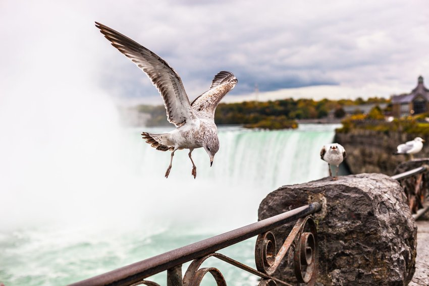 A seagull in front of Niagara Falls and the Niagara River