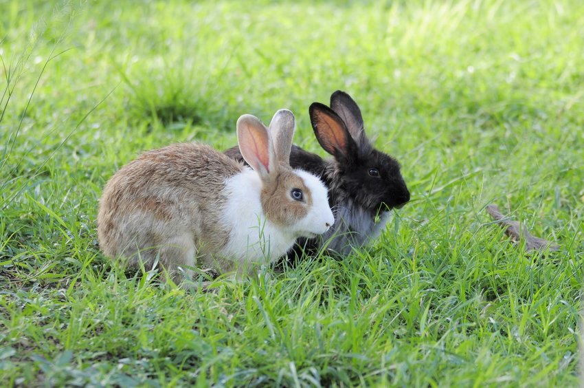 A white rabbit and a black rabbit sitting in the grass in the morning