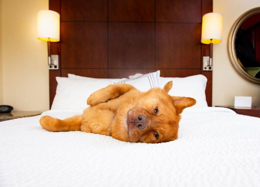 Dog laying on top of white hotel bed