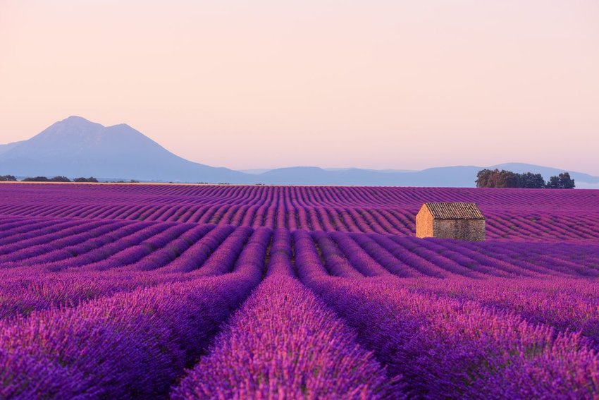 Lavender fields in Provence with mountain in distance