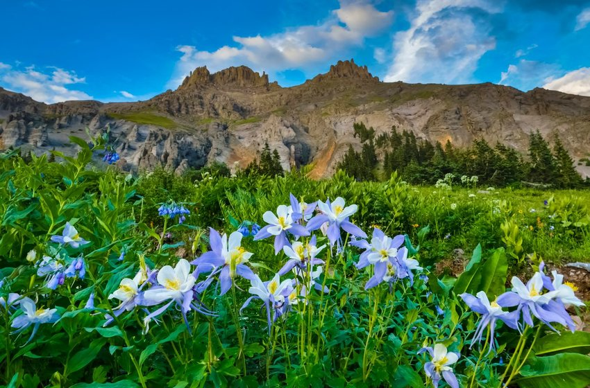 Lavender, white, and yellow columbine flowers on a mountainside