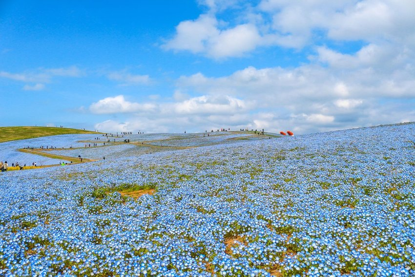 Fields of blue flowers with people walking along paths