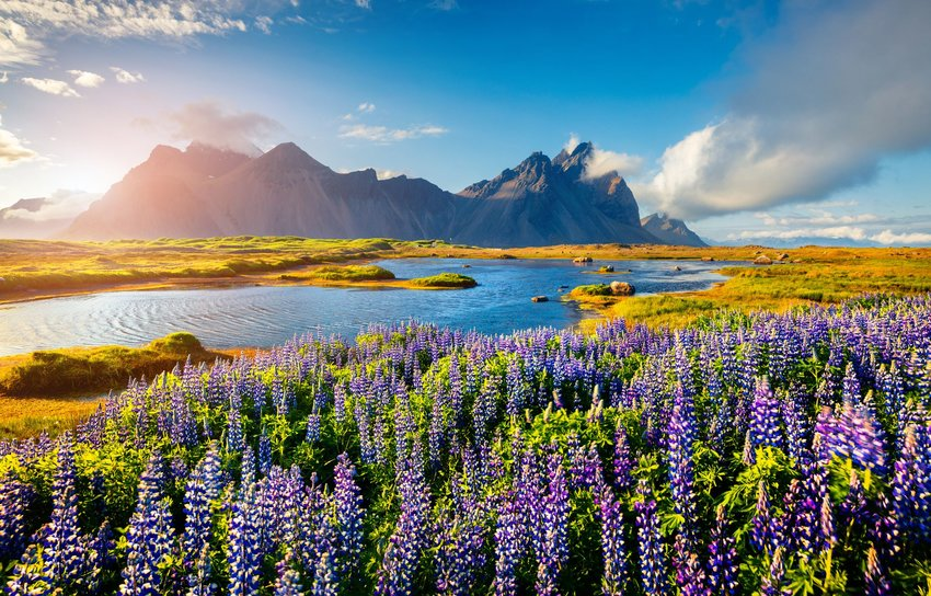 Blooming purple lupine flowers on the Stokksnes headland of Iceland with mountains in the background.