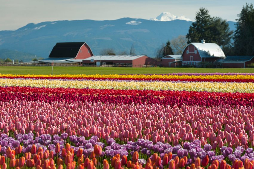 Colorful tulip fields in Skagit Valley