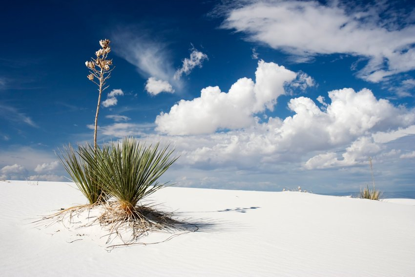 Yucca plants growing from the sand at White Sands