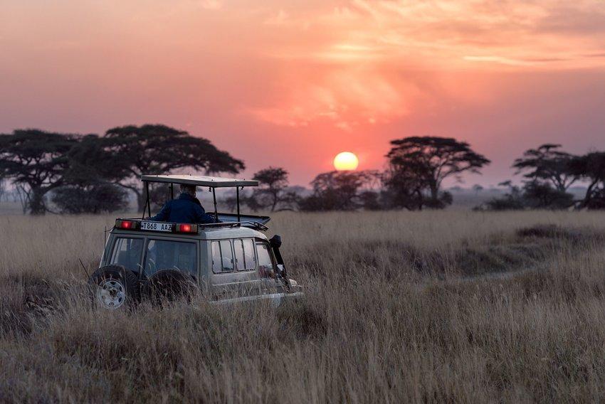 Safari car driving through the tall grasses at sunset