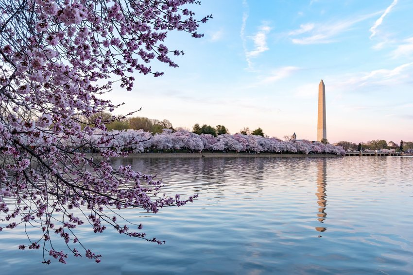 Washington Monument with cherry blossom trees
