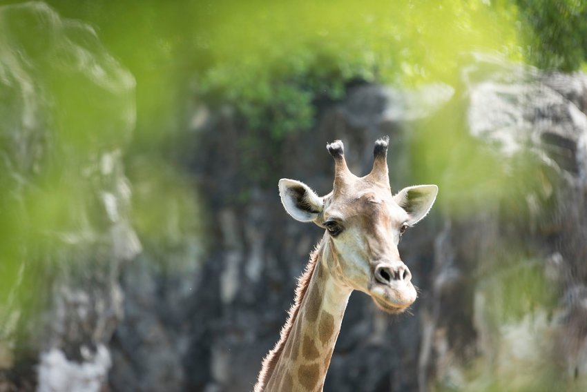 Close-up of giraffe with nature in background