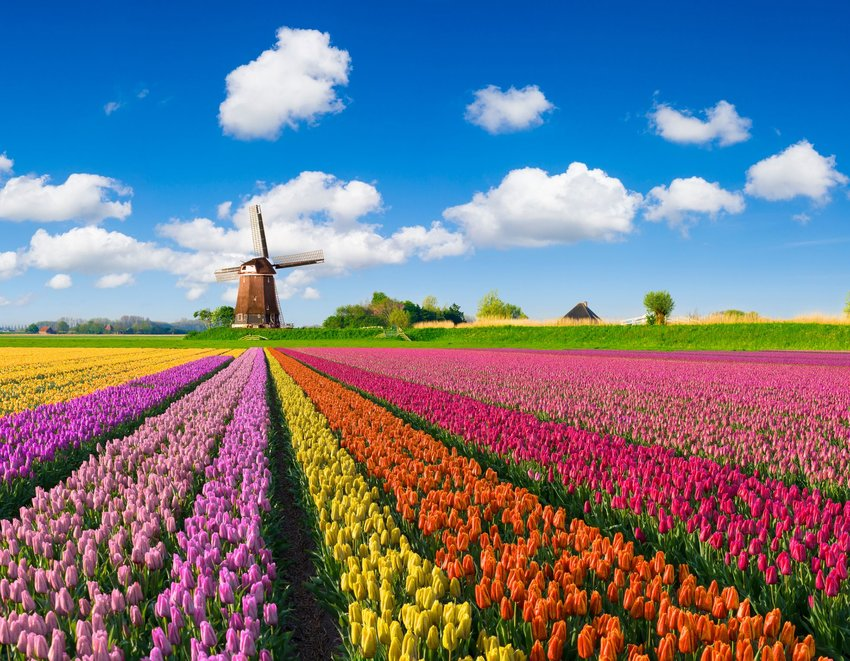 Multicolored tulips blooming in a field in the Netherlands beneath a picturesque blue sky