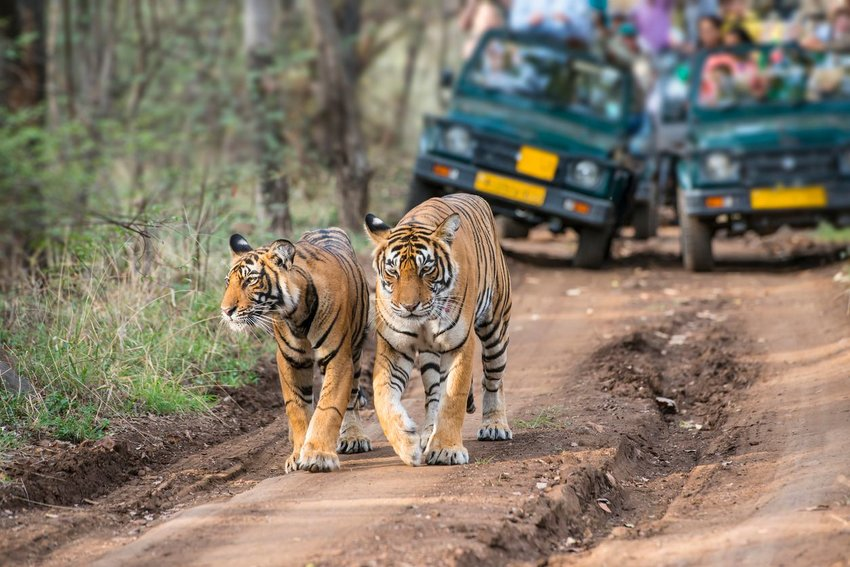 Two tigers walking along road with cars of tourists following