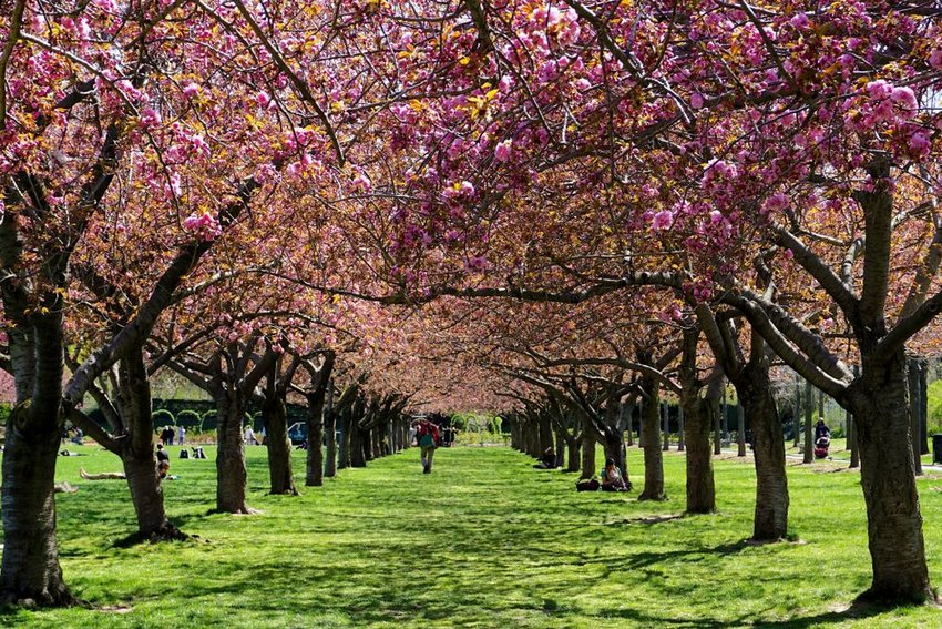 Visitors relax in the colonnade of cherry blossom trees in full bloom at the Brooklyn Botanic Garden