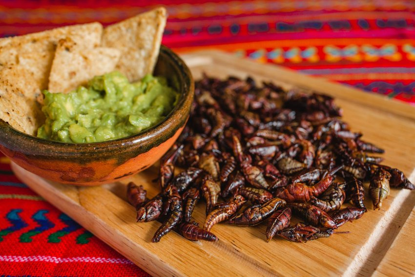 Crickets and grasshoppers ready for eating next to a bowl of guacamole and chips