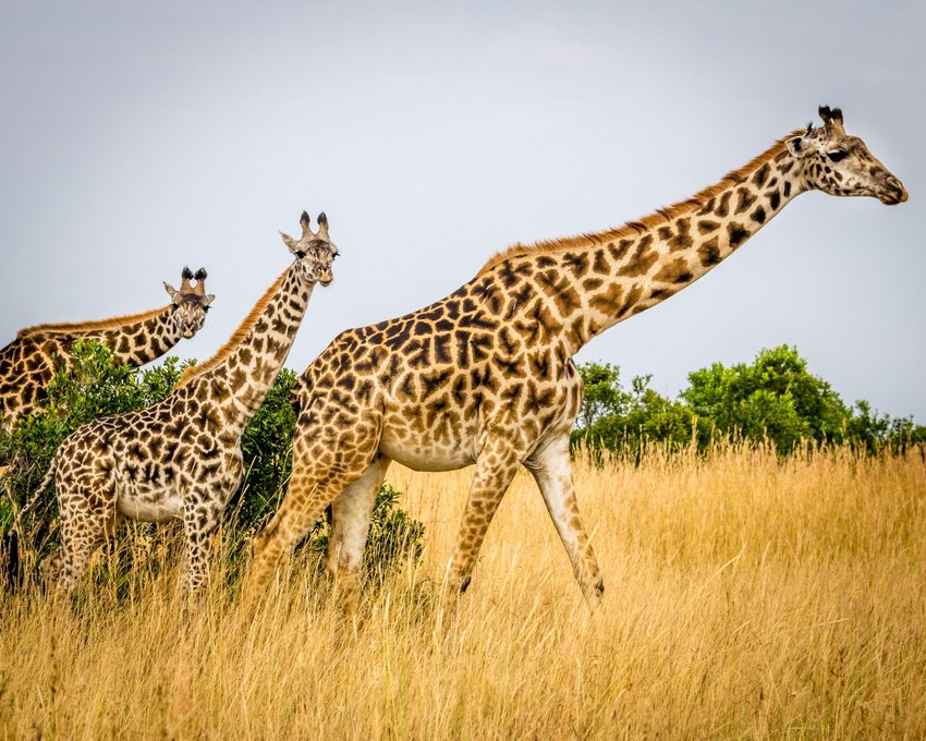 Family of giraffe in tall grasses