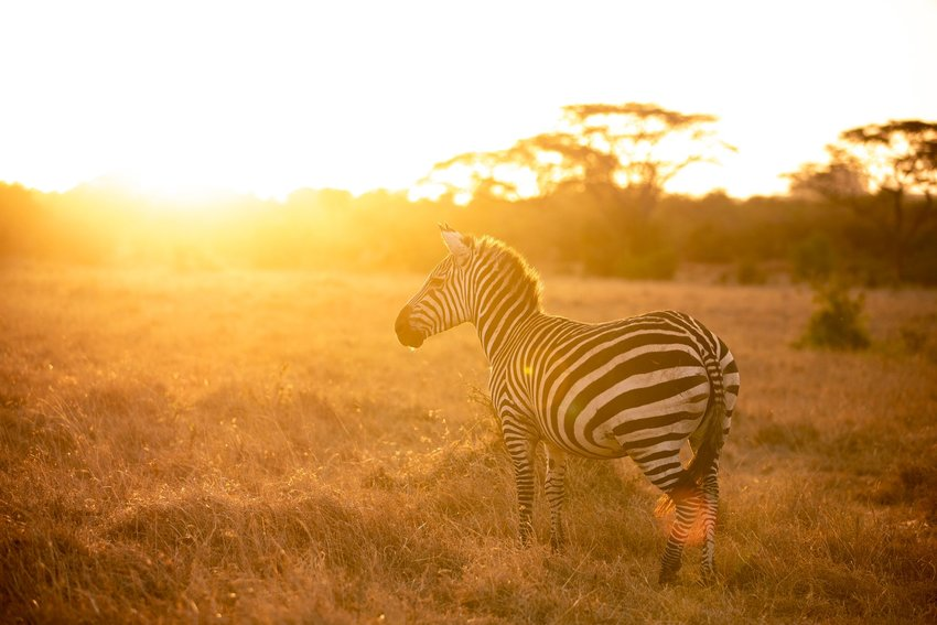 Zebra at golden hour in Nairobi National Park