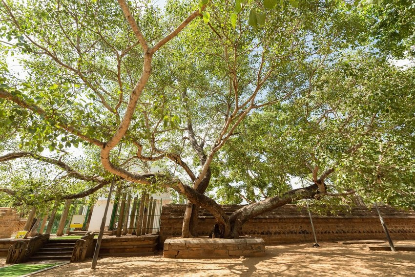 Jaya Sri Maha Bodhi tree in Sri Lanka