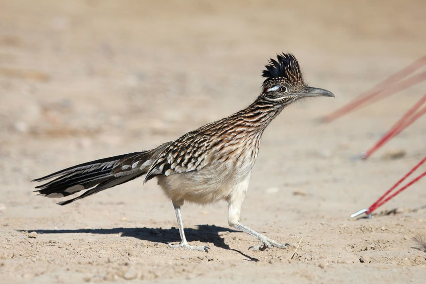 Roadrunner standing on the ground in Death Valley