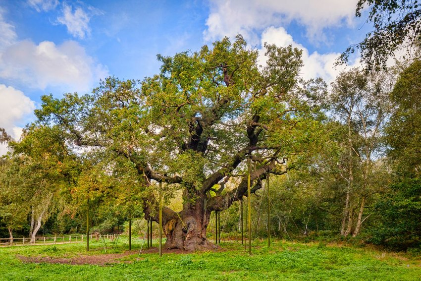 The Major Oak in Sherwood Forest, Nottinghamshire, England, UK