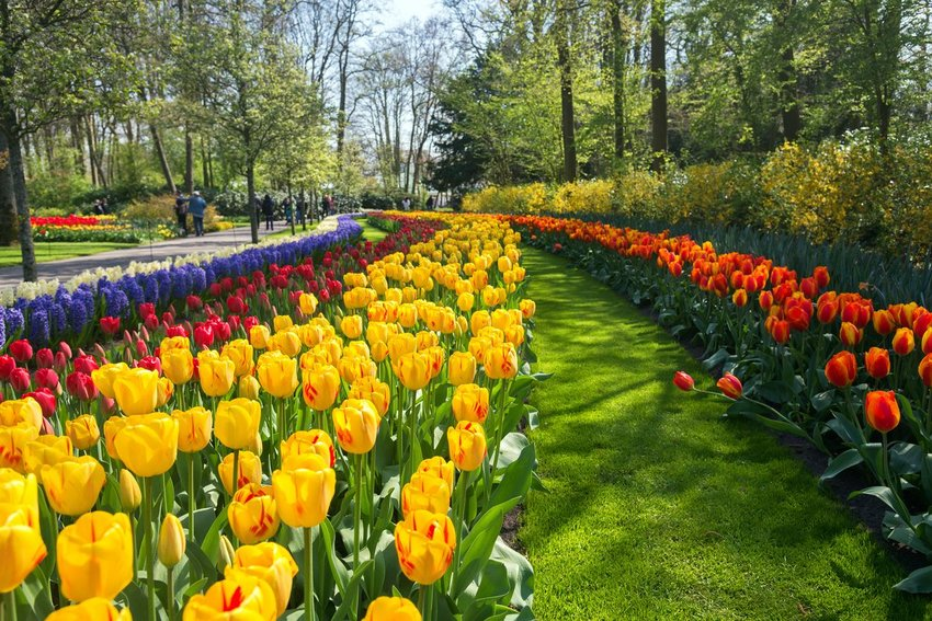 Tulips at a park in the Netherlands