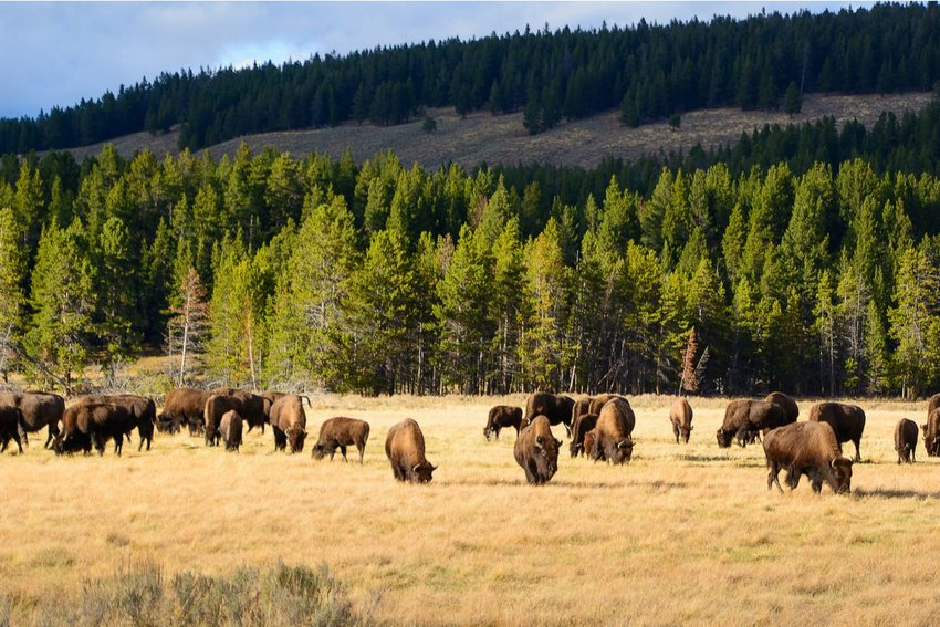 A herd of bison at Yellowstone National Park