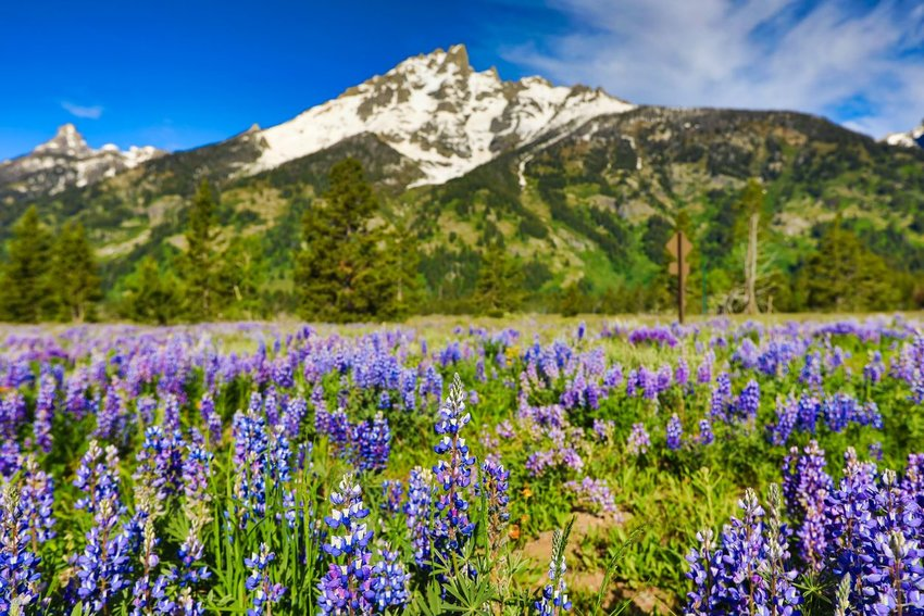 Lupine flowers at Yellowstone National Park