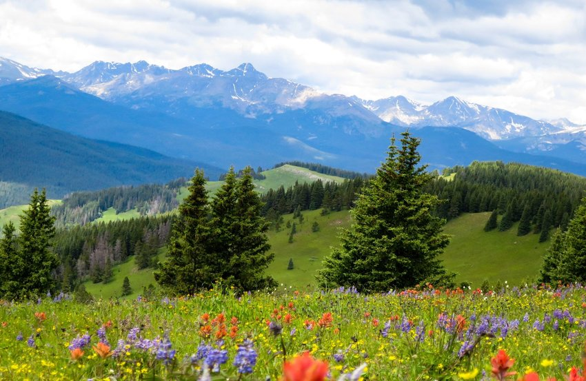 Field of wild flowers and pine trees with mountains in the distance