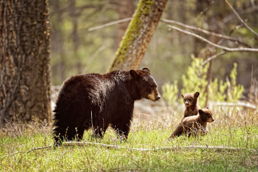 Black bear with cubs playing in the forest in Yellowstone National Park