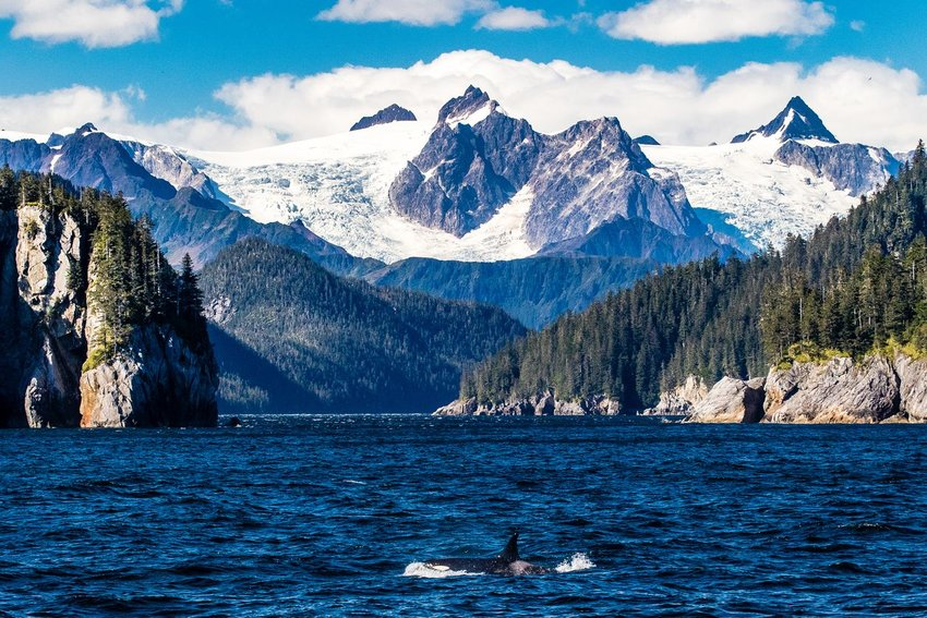 An Orca whale swimming in the ocean with snowy mountains in the background in Kenai Fjords National Park