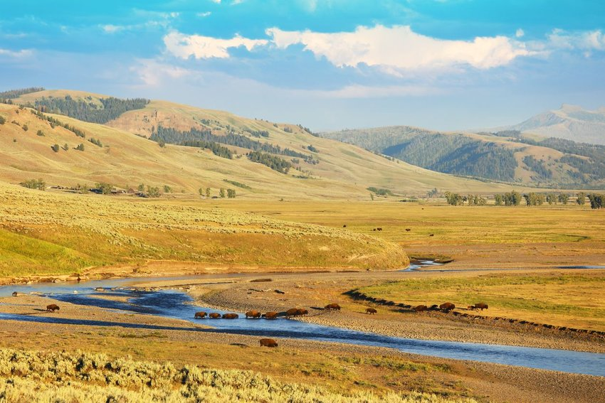 Incredible landscape with hundreds of bison crossing the Lamar river in the Lamar Valley in Yellowstone National Park