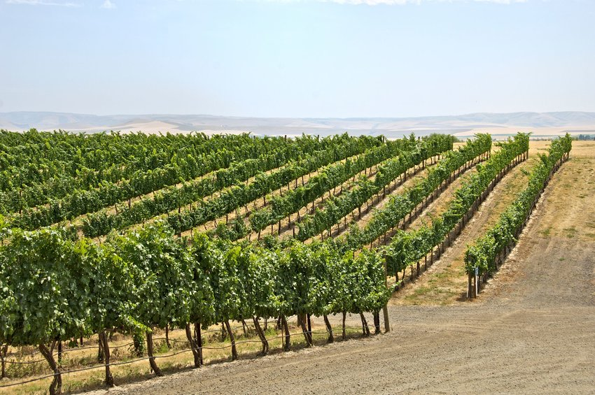 Vineyards on hilly landscape in Walla Walla Valley, Washington