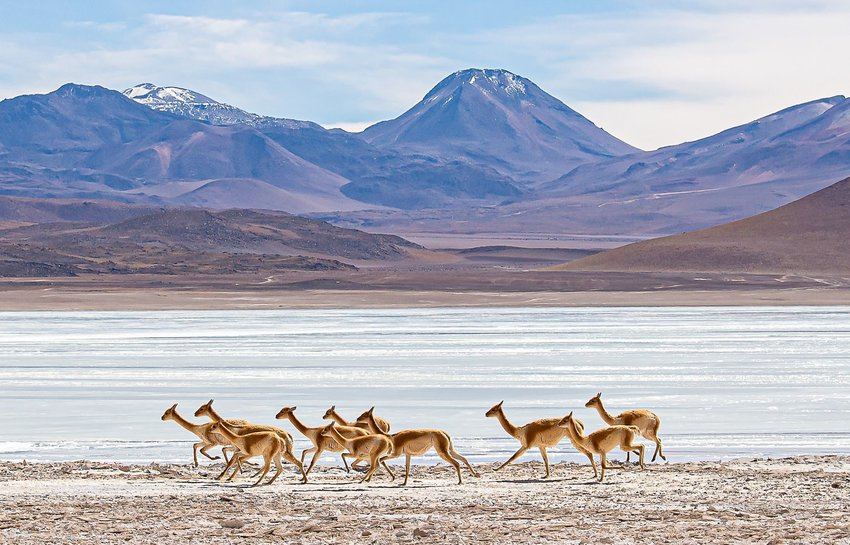 Herd of vicuñas running with mountains behind them