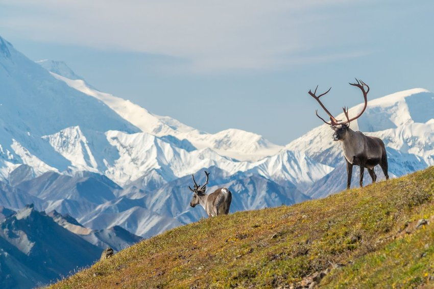 Caribou in front of mount Denali, (mount Mckinley), Alaska